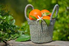 Tangerines in a basket Stock Photo