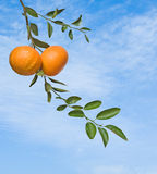 Tangerines on branch Stock Photos