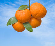 Tangerines on branch Stock Image