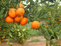 Tangerines on branch. Close up of Tangerines on branch Royalty Free Stock Photos