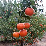 Tangerines on branch Royalty Free Stock Photos