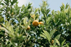 Tangerines on a branch. Harvest time. Delicious and healthy food. stock photo