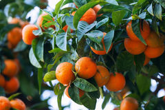 Tangerines branch with mandarins Royalty Free Stock Photo