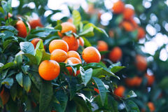 Tangerines  branch on tree Royalty Free Stock Image