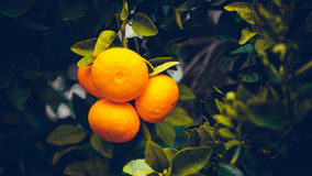 Tangerines on branches. Bright fruit on spring green branches.Cy Stock Images