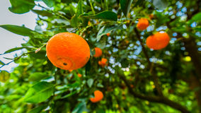 Tangerines on branches. Bright fruit on spring green branches.Cy Stock Photography
