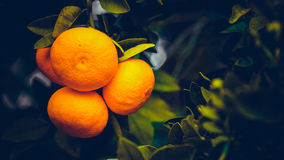 Tangerines on branches. Bright fruit on spring green branches.Cy Stock Photo