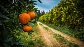 Tangerines on branches. Bright fruit on spring green branches.Cy Stock Photos