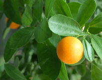 Tangerines on a citrus tree. Royalty Free Stock Photo