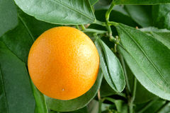 Tangerines on a citrus tree. Royalty Free Stock Photos