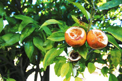 Tangerines eaten by birds on a tree Royalty Free Stock Photography