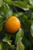 Tangerines em uma filial fotos de stock royalty free