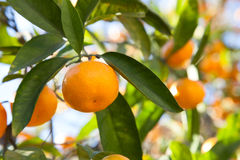 Tangerines in the green foliage Stock Photo