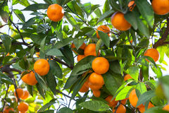 Tangerines in the green foliage Royalty Free Stock Photography