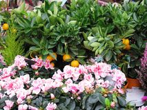 Tangerines grow in pots, pink flowers royalty free stock image
