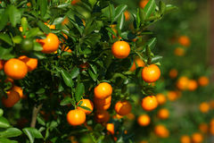 Tangerines growing on the bush in the orchard Royalty Free Stock Image