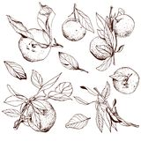 Tangerines, hand drawn set. With branches and leaves Stock Photography