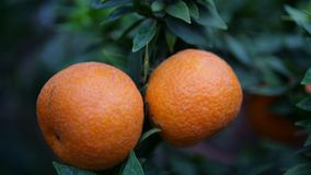 Tangerines isolated in the tree with green background. Close up tangerines in the tree with green background Royalty Free Stock Photos