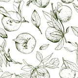 Tangerines with leaves, seamless monochrome. Pattern, hand drawn Royalty Free Stock Image