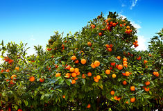 Tangerines with leaves on tree against blue sky Stock Image