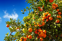 Tangerines with leaves on tree against blue sky royalty free stock images