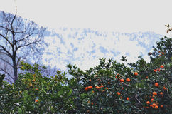 Tangerines in mountains Royalty Free Stock Image
