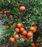 Tangerines On Branch Royalty Free Stock Image
