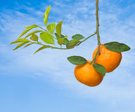 Tangerines On Tree Stock Photo