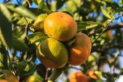 Tangerines. Orange sweet tangerines in the tree Royalty Free Stock Photo
