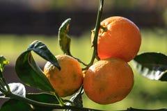 Tangerines. Orange sweet tangerines in the tree Stock Photography
