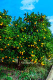 Tangerines and oranges, ready to be harvested. Royalty Free Stock Photos