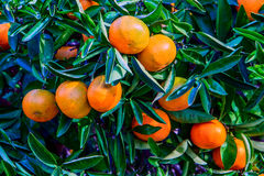 Tangerines and oranges, ready to be harvested. Royalty Free Stock Images