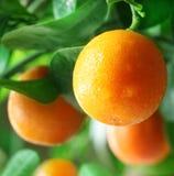 Tangerines på en citrusträd. arkivfoto