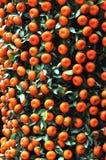 Tangerines på treen Royaltyfri Foto
