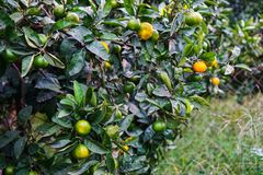 Tangerines ripen on a tree, but still green. Until full maturation remained 1 month royalty free stock photo