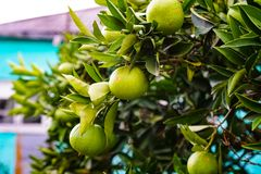 Tangerines ripen on a tree, but still green. Until full maturation remained 1 month stock photo