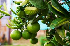 Tangerines ripen on a tree, but still green. Until full maturation remained 1 month royalty free stock photos