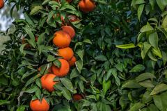 A tangerines spangled tree. A ripe tangerines spangled tree stock photos