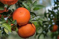 A tangerines spangled tree. A ripe orange tangerines spangled tree stock photos