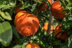 A tangerines spangled tree. A ripe orange tangerines spangled tree royalty free stock image