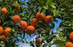 A tangerines spangled tree on blue sky background royalty free stock image