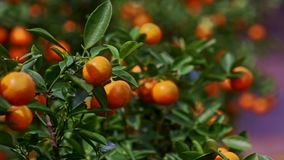 Tangerines with Sun Brightness on Sides Wind Shakes Leaves. Closeup tangerines on tree branch with sun brightness on sides wind shakes leaves before Vietnamese