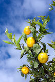 Tangerines on a tree Stock Photography