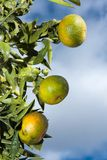 Tangerines on a tree Royalty Free Stock Image