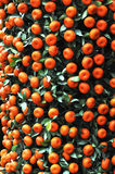 Tangerines at tree Royalty Free Stock Photo