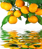 Tangerines on a tree Royalty Free Stock Photography