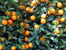 Tangerines on the tree. Full of tangerines on the tree Royalty Free Stock Photography