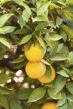 Tangerines on a tree Stock Photo