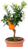 Tangerines tree with fruits and flowers. Beautiful citrus tree with orange fruit on branches stock image
