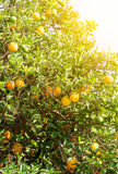 Tangerines on tree. Stock Photos